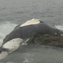 Dead humpback whale remains washed ashore in Jamestown