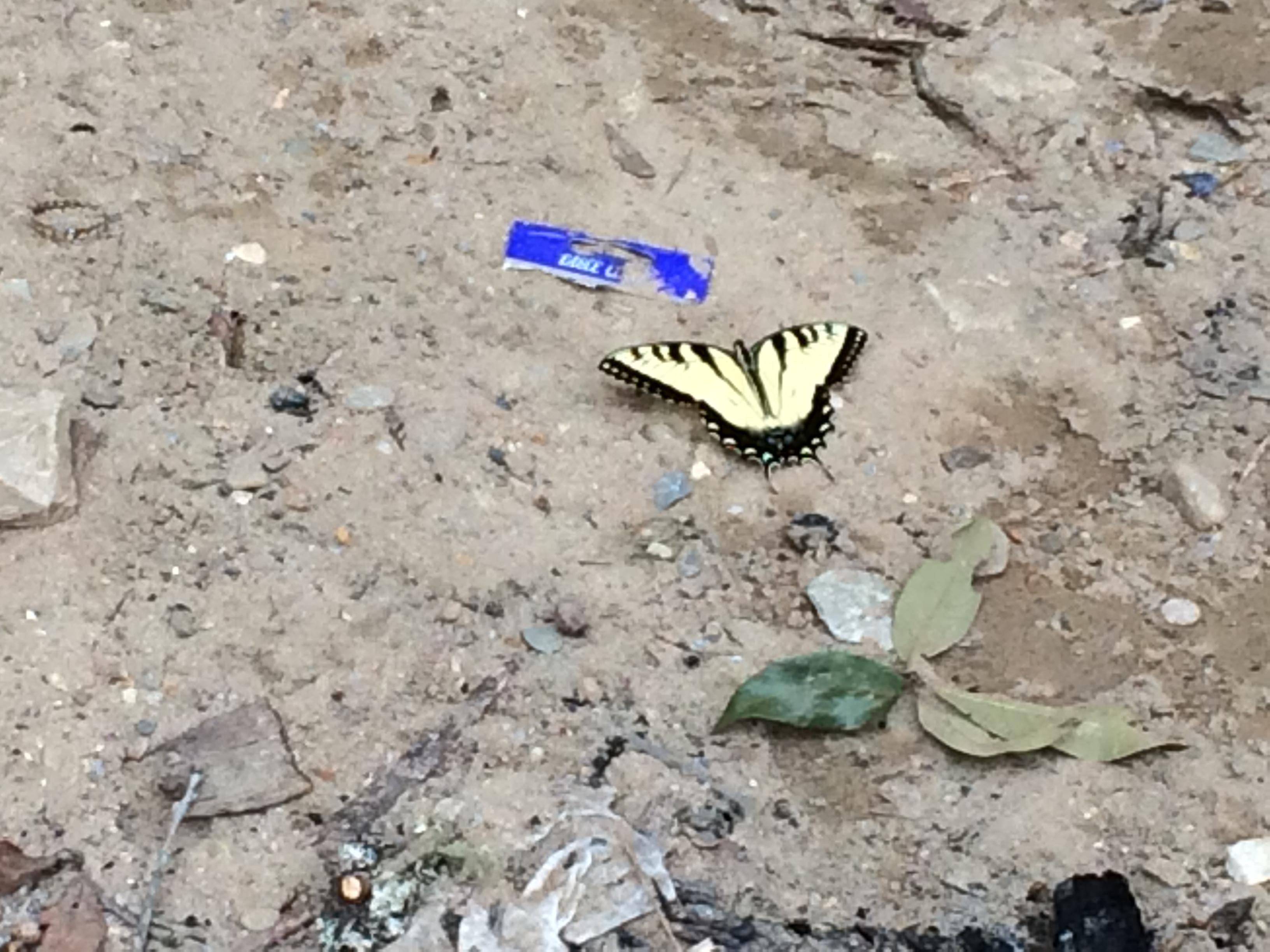 Butterfly resting along the banks in Bryson City, NC. (Photo credit: WLOS Staff)