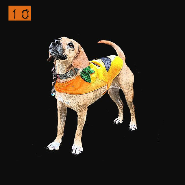 "#10 - Cute dog alert! Meet Izzy, the star of our ""Fashion Watch: Halloween Costume Ideas for 2016"" video which you can find on our Facebook page. / Image: Phil Armstrong, Cincinnati Refined"