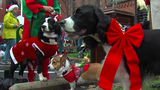 SPCA hosts annual Reindog Parade