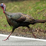 Turkey that took over New Castle killed by motor vehicle