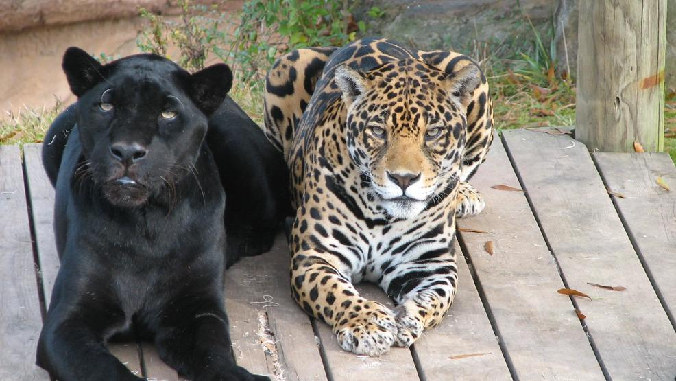 Captivating The Little Rock Zoo Has Announced One Of Its Jaguars, A 16 Year Old Female  Named Agave (R) Died After Suffering Complications From Cancer.