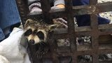 Raccoon recovering after exhausting rescue