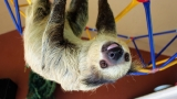'They come to live out their glory days': Endangered sloths find peace in Oregon