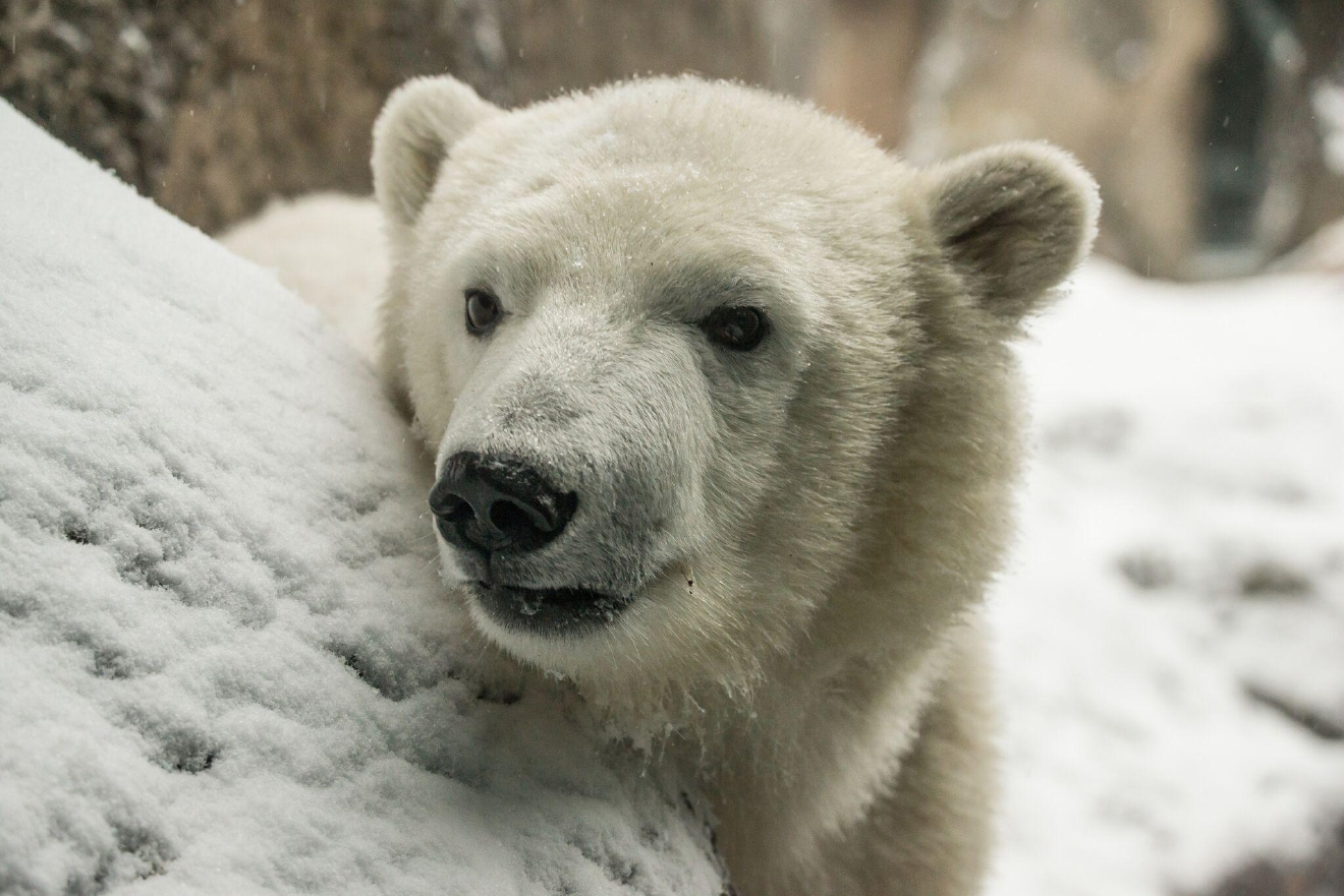 Nora the polar bear plays in the snow at the Oregon Zoo Thursday, Dec. 8. 2016. (Photo: Oregon Zoo)