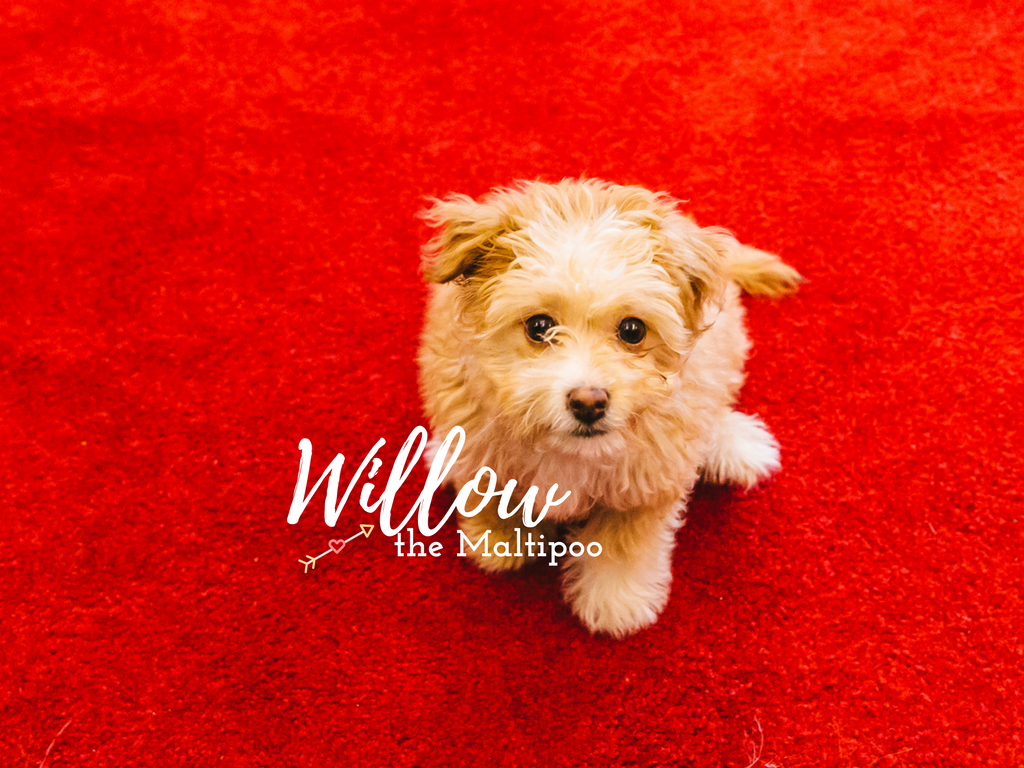 Meet Willow the Maltipoo Chiweenie Mix. Doesn't she look like the dreamiest little fluff you've ever seen?! Well she is. Her puppy snuggles are out of this world. Willow is only four months old and is the baby of mom Nicole, who adopted Willow from a local breeder here in Seattle. Willow loves going for walks, picking up leaves to carry around, the beach, digging in the sand, playing with her older sister Maggie, her toys, playing fetch, cuddling, meeting new people and dogs, treats, and peanut butter! She dislikes baths (but loves hair dyers), and hates it when Maggie doesn't want to play. (Image: Sunita Martini / Seattle Refined)