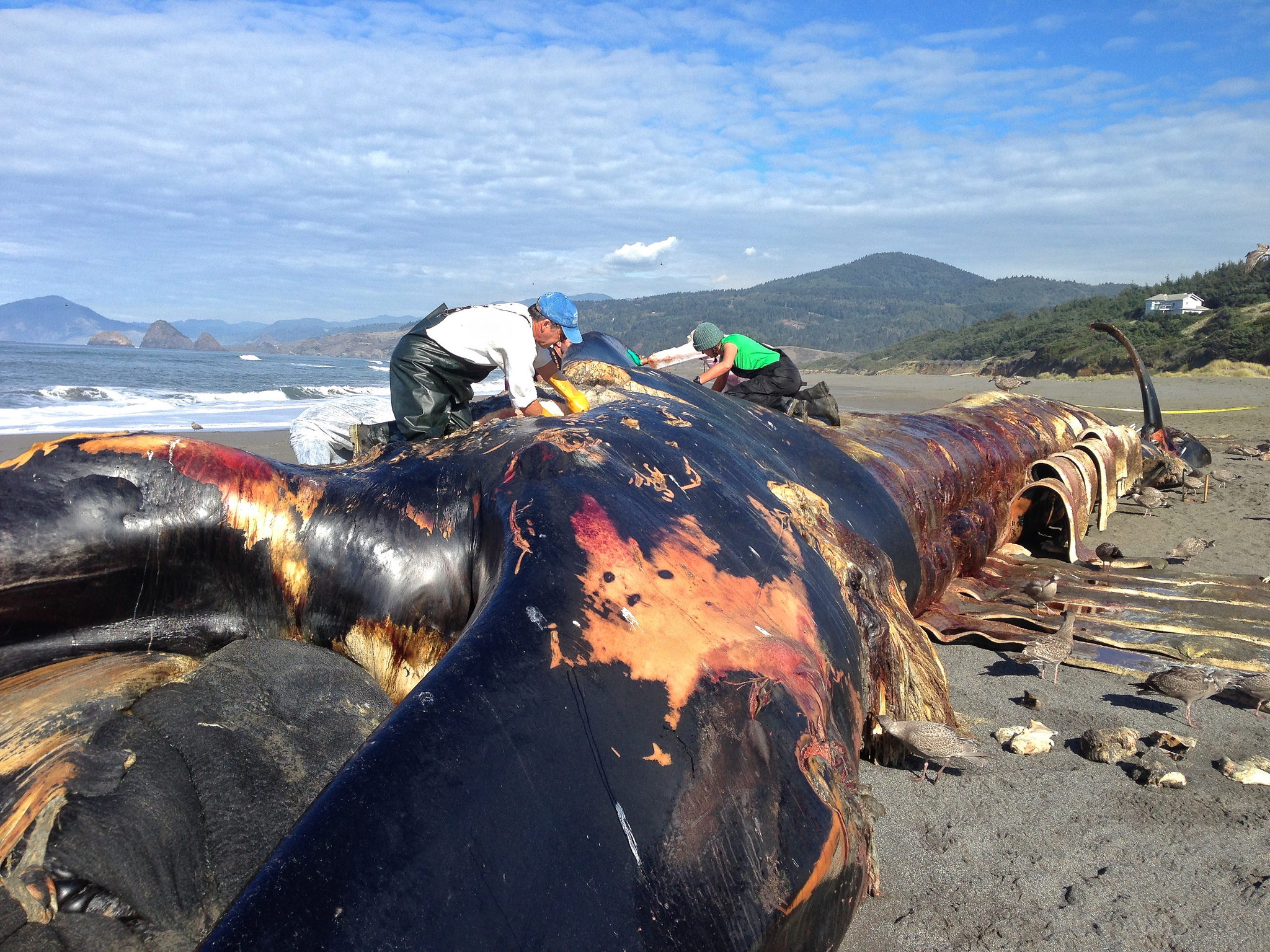 A 78-foot blue whale that washed ashore in November 2015 near Gold Beach, Oregon. (OSU/CC by 2.0)<p></p>