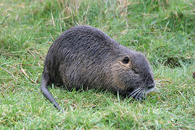An adult nutria with white muzzle and whiskers, and long, round tail. (Photo courtesy of Joyce Gross, UC-Berkeley.)
