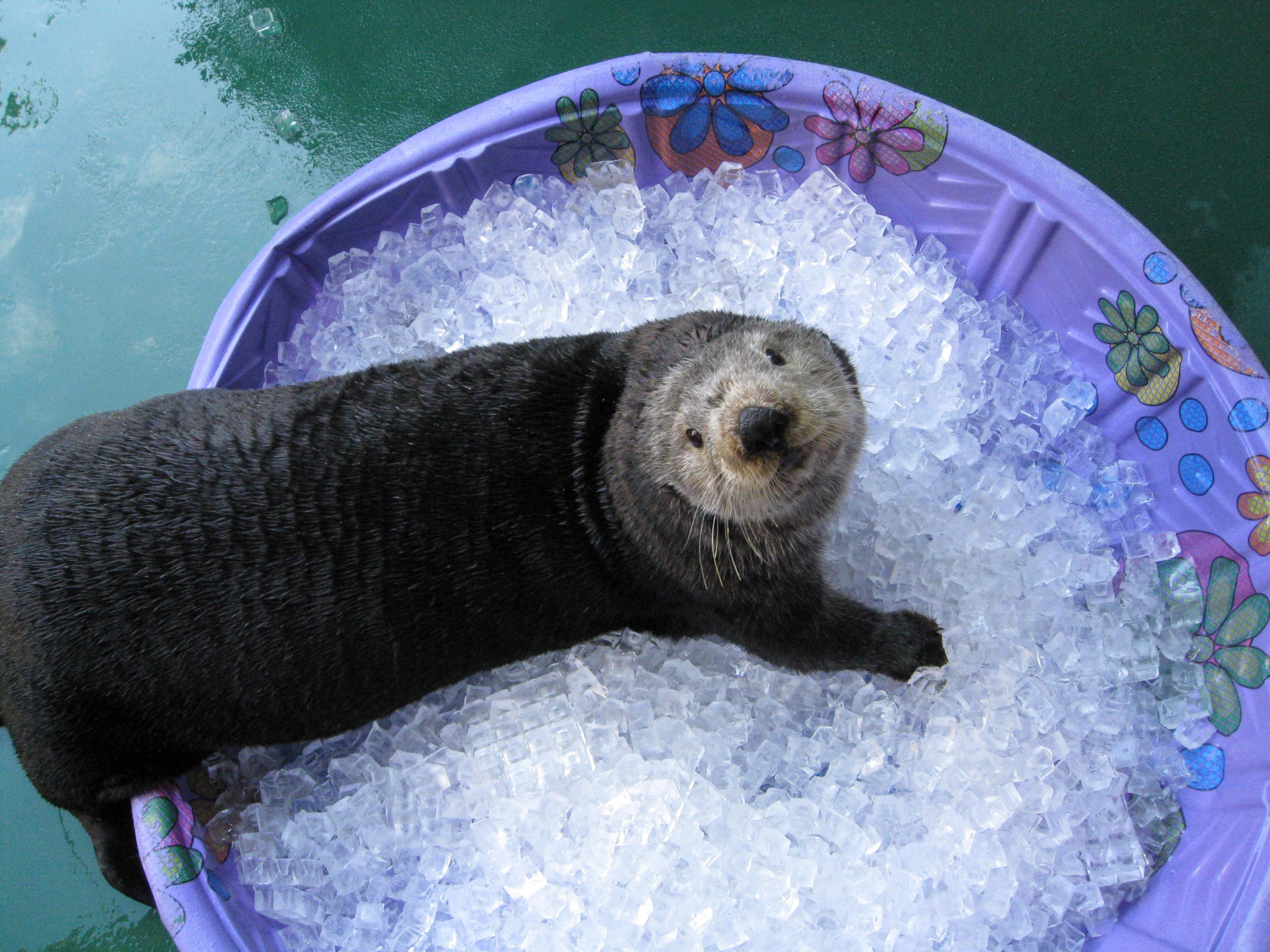 Adaa the sea otter enjoys some ice.