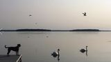Residents on Oneida Lake upset after wildlife officials euthanize mute swans