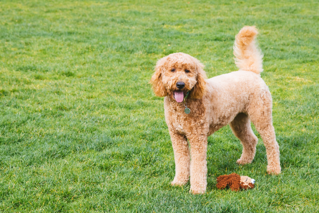 Rosie The Doodle Lewis is a two-year-old GoldenDoodle who loves her two sisters Shaela and Rian. Her favorite toys are Baby Bunny and Baby Wookie. Rosie's current passion is picking up sticks on walks and carrying them home (the larger the stick the better). When swimming she likes to dive for rocks. When meeting other Doodles she loves to stand on her hind legs and hug the other Doodle who also hugs her back (it's a doodle thing). She's overall just a very happy girl. The Seattle RUFFined Spotlight is a weekly profile of local pets living and loving life in the PNW. If you or someone you know has a pet you'd like featured, email us at hello@seattlerefined.com or tag #SeattleRUFFined and your furbaby could be the next spotlighted! (Image: Sunita Martini / Seattle Refined).