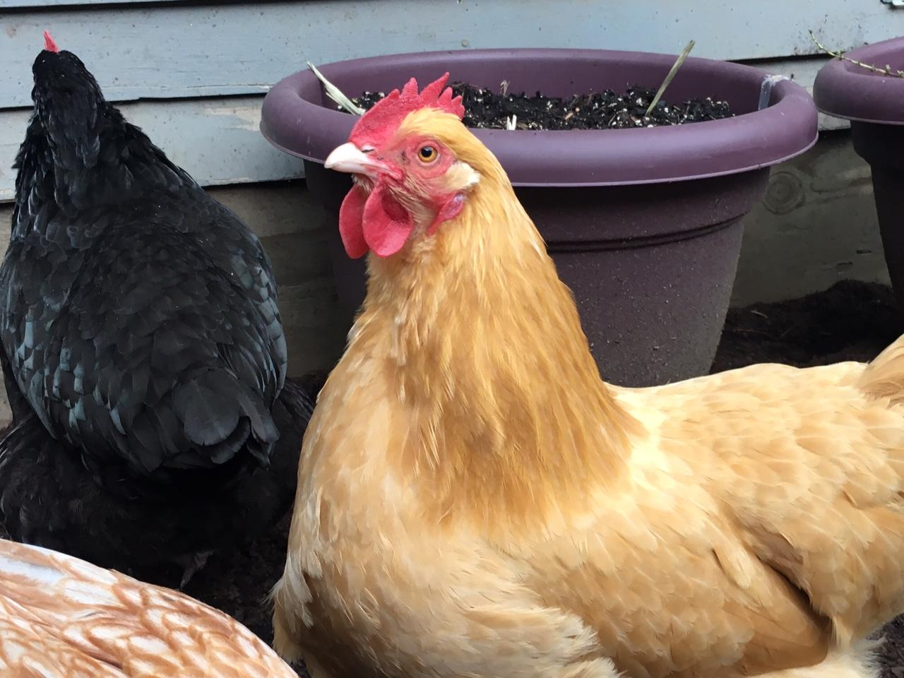 coop de ville how to keep a chicken cheerful in your backyard kval